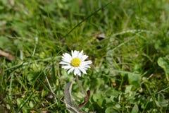 一朵雏菊花的细节在绿草的 免版税图库摄影