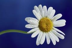 一朵雏菊花 库存图片