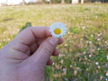 一朵雏菊 免版税库存图片