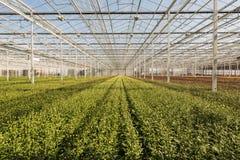 一朵非常大菊花nurs的许多小菊花植物 库存照片