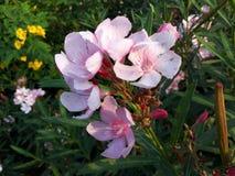 一朵非常好的淡粉红的花和一更桃红色芽 免版税图库摄影