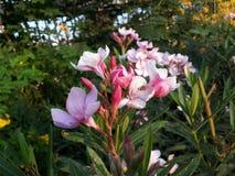 一朵非常好的淡粉红的花和一更桃红色芽 库存图片