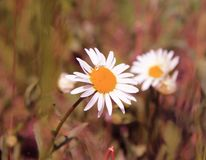 一朵非常美丽的花是夏天的标志 图库摄影