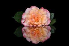 一朵高尚的玫瑰的芽与反射的 库存图片