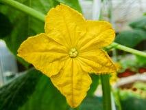 一朵黄瓜花的特写镜头在生长领域的 免版税库存图片