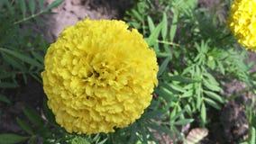 一朵黄色万寿菊花在城市庭院里 影视素材
