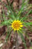 一朵黄色五颜六色的花有绿色叶子顶视图 库存照片