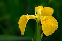 一朵黄色兰花的特写镜头 库存图片