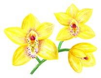 一朵黄色兰花的花 分支与三朵花 额嘴装饰飞行例证图象其纸部分燕子水彩 免版税库存图片