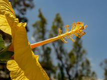一朵黄色木槿花的再生部分 免版税库存图片