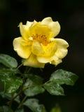 一朵黄色玫瑰的开花用水滴下 免版税图库摄影