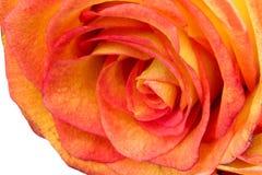 一朵黄色玫瑰的开花的芽 库存图片