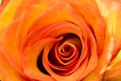 一朵黄色玫瑰的开花的芽 图库摄影