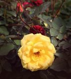 一朵黄色玫瑰花 库存图片