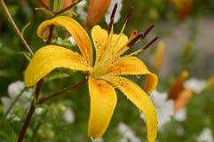 一朵黄色百合花的照片在庭院里 免版税库存图片