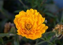 一朵黄色翠菊花的瓣 免版税库存图片