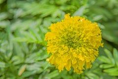 一朵黄色花有绿色叶子背景 图库摄影