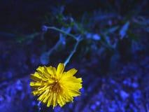 一朵黄色花有黑暗的背景 免版税库存图片