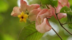 一朵黄色花的照片的关闭在星形状的与桃红色和绿色叶子 免版税库存照片