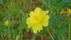 一朵黄色花的特写镜头 影视素材