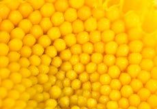 一朵黄色花的背景 关闭 免版税库存图片