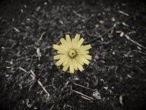 一朵黄色花,希望的标志 免版税图库摄影