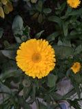 一朵黄色花 免版税库存照片