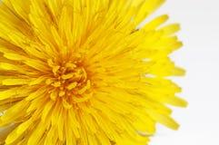 一朵黄色蒲公英花的宏指令 图库摄影