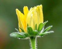 一朵黄色野花的特写镜头在阳光下有橙色和绿色背景 库存照片