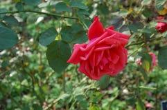 一朵黑暗的桃红色玫瑰的单发射击 免版税库存图片