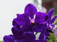 一朵黑暗的紫色兰花 免版税库存照片
