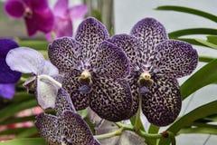 一朵黑暗的紫色被察觉的兰花 免版税库存图片