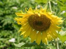 一朵年轻向日葵花的特写镜头视图 库存图片
