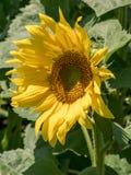 一朵年轻向日葵花的特写镜头视图 免版税库存照片