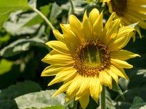 一朵年轻向日葵花的特写镜头视图 图库摄影