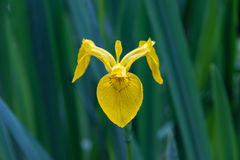 一朵黄旗虹膜花在伊莎贝拉种植园, w的特写镜头 免版税图库摄影