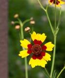 一朵黄色和褐红的金鸡菊Tinctoria花 库存照片