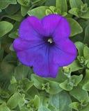 一朵紫色喇叭花的特写镜头 库存图片