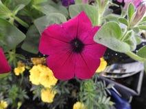 一朵紫色喇叭花 免版税库存照片