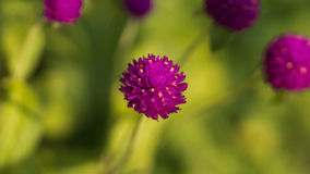 一朵紫色圆的花的特写镜头 免版税图库摄影