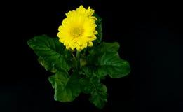 一朵黄色大丁草花的顶视图在黑背景的 库存照片