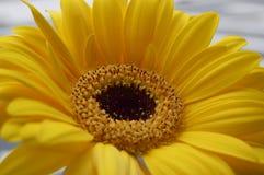 一朵黄色大丁草雏菊 免版税图库摄影