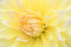 一朵黄色大丽花的宏指令 免版税库存照片