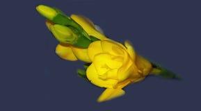 一朵黄色小苍兰花的宏观图象 图库摄影