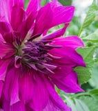 一朵紫色尖的大丽花 免版税库存照片