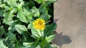 一朵黄色庭院花 免版税库存照片