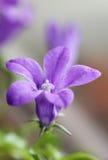 一朵紫色开花的吊钟花 免版税库存照片