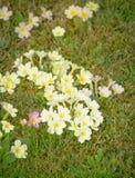 一朵黄色报春花的花 免版税图库摄影