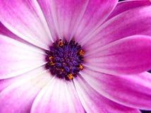 一朵紫色海角延命菊雏菊花的头状花序 库存照片