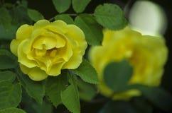一朵黄色玫瑰的明亮的花在绿色叶子中的 库存照片